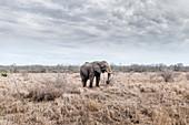 African Elephant walking through Hlane Park, Swaziland