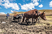 Oxen pulling a plow, Somenkong, Lesotho
