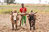 Using cattle to till ground, Meki Batu, Ethiopia
