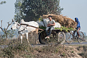 Young boys riding on cart pulled by an ox, Punjab, India