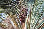Dates growing on a date palm