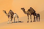 Female camels and their young