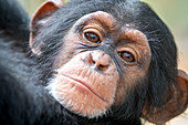 Baby chimpanzee's face