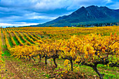Vineyard in autumn, Ayegui, Navarre, Spain