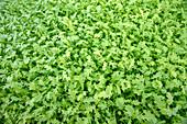 Rocket leaves (Eruca sativa) in hydroponic culture