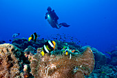 Scuba diver and Clark's anemonefish