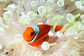 Clown anenomefish in bleached anenome