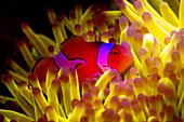 Clown anenomefish in fluorescing anenome