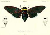 Cicada, 19th Century illustration