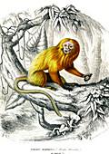 Lion tamarin, 19th Century illustration
