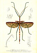 Stick insect, 19th Century illustration