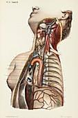 Throat and chest anatomy, 1866 illustration