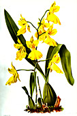 Oncidium concolor, 19th century