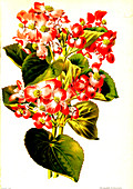 Begonia semperflorens, 19th century
