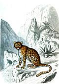 Leopard, 19th century