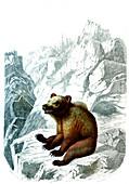 Pyrenean brown bear, 19th century