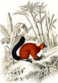 Red ruffed lemur, 19th century