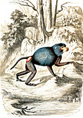 Hamadryas baboon, 19th century