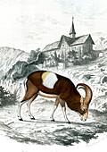 European mouflon, 19th century