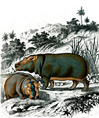 Hippopotamuses, 19th century