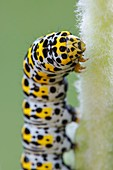 Mullein Moth caterpillar