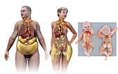 Brown fat and white fat, illustration