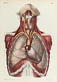 Chest organs and blood vessels, 1866 illustration