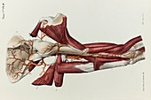 Upper arm arteries and bones, 1866 illustration