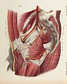 Pelvis arteries, 1866 illustration