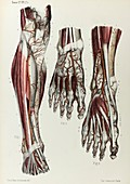 Lower leg and foot arteries, 1866 illustration