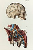 Diploic veins and pelvis blood vessels, 1866 illustration