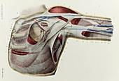 Armpit facsia, 1866 illustration