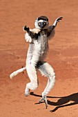 Verreaux's sifaka moving bipedally