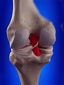 Illustration of the posterior cruciate ligament