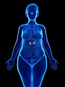 Illustration of an obese woman's adrenal glands