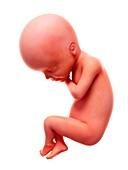 Illustration of a human foetus, week 24
