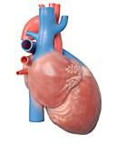 Illustration of the human heart anatomy