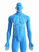 Illustration of a man's adrenal glands