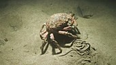Common spider crab at night