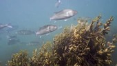 School of European bass swimming over serrated wrack covered