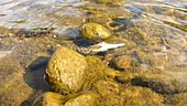 Water snake eating a fish
