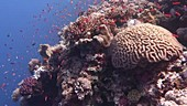 Coral and red fish