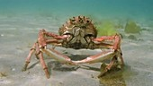 Common spider crab foraging on reef filmed underwater