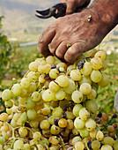 Winzer schneidet Trauben vom Weinstock