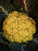 Gelber Blumenkohl vor dunklem Hintergrund