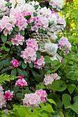 Putte mit Weintraubenkorb zwischen blühendem Rhododendron