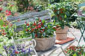 Chilipflanzen, Töpfe mit Papier als Geschenk verpackt