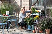 Frau pflückt Chili, Chilipflanzen im Regal