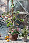 Zierapfel 'Evereste' unterpflanzt mit Sommeraster und Lampenputzergras 'Firework