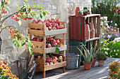 Frisch gepflückte Äpfel in Apfelhorde auf Terrasse